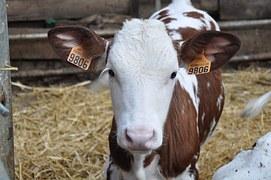 vache étiquetée